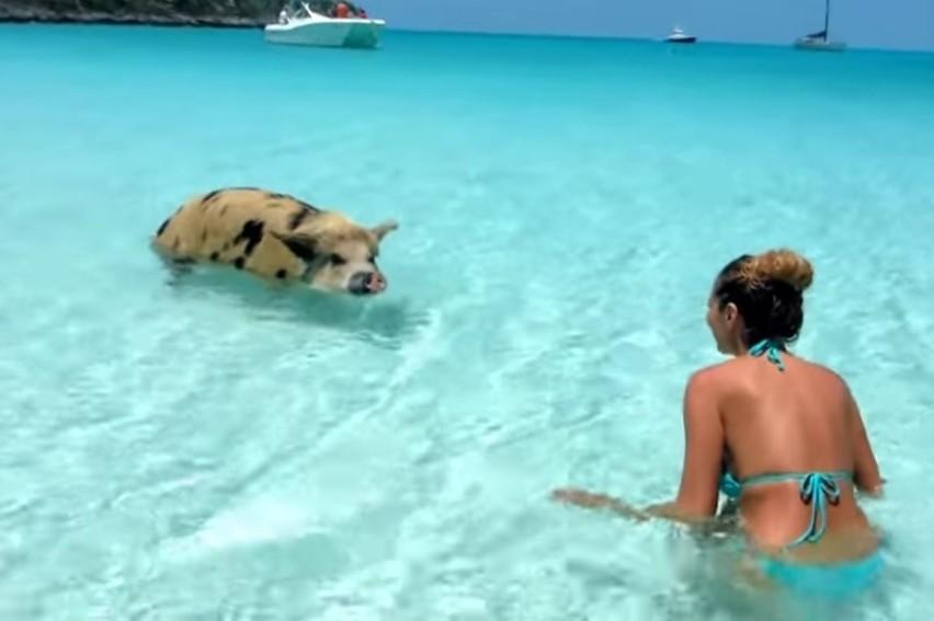 Czy można spocić się jak świnia? Czy potrafią pływać? I...