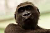 Szwajcarzy w referendum zdecydują, czy takim małpom, jak szympansy i goryle, należą się podstawwe prawa