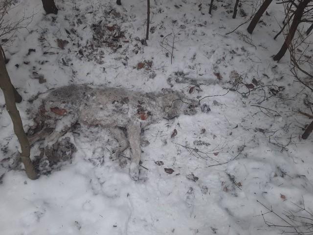 Truchło wilczycy leżało w młodniku jodłowym, z dala od uczęszczanych szlaków. Na szyi wilka była zaciśnięta pętla stalowej linki. Wszystko jednak wskazuje na to, że wilczycę podrzucono w to miejsce bo sidła były odcięte, a na miejscu nie było śladów sugerujących walkę o życie drapieżnika.
