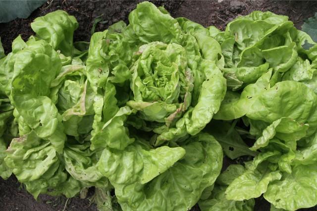 Mimo wysokiego bezrobocia, niektóre lipnowskie firmy, głównie z branży owocowo-warzywnej mają problemy z zatrudnieniem.
