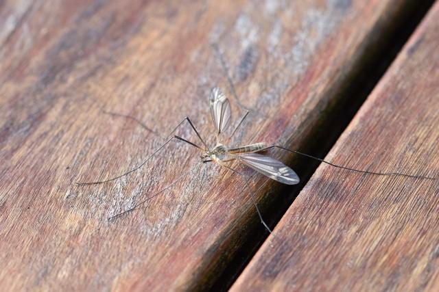 W 2019 roku mamy wysyp komarów - to przez mokry maj i późniejsze podtopienia