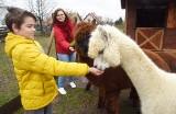 Alpaki podbijają serca Lubuszan. Jest u nas kilka miejsc, gdzie można je spotkać