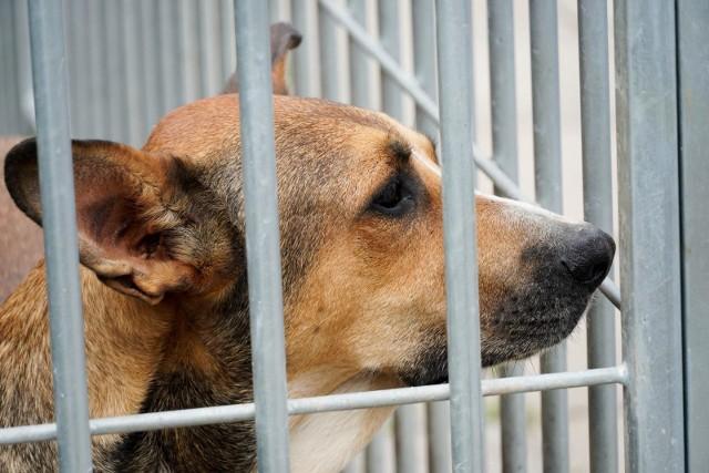Od początku czerwca do białostockiego Schroniska dla zwierząt powrócą wolontariusze. Zainteresowani będą mieli też prostszą adopcję psów, ale trzeba będzie telefonicznie umówić się na konkretny dzień i godzinę na indywidualną wizytę w schronisku. Będzie można poznać osobiście wybrane zwierzę jeszcze przed adopcją.