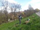 W Sandomierzu posadzono piękne buki płaczące i w kształcie fontanny. Zobacz, gdzie będzie można zobaczyć drzewa [ZDJĘCIA]