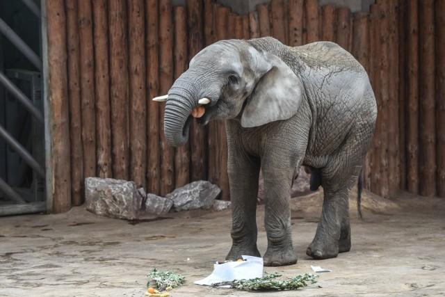 Słoń, sympatyczne zwierzę wiezione do zoo, zażywał kiedyś spaceru na przyautostradowym parkingu. Jak się okazuje, nie jest to bardzo odosobniony przypadek – bo na autostradach dochodzi czasem do zdarzeń, których nie przewidzieli ich projektanci… Przejdź dalej i sprawdź --->