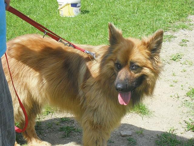 """Piękny Bruno w typie długowłosego owczarka niemieckiego brał udział w programie """"Przyjaciele, czyli pies w celi"""". Teraz czeka na dobry dom i kochającego właściciela, który będzie umiał docenić wspaniały charakter i umiejętności psa."""