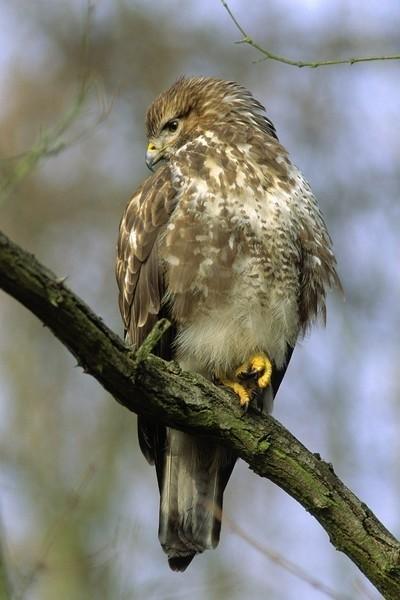 Myszołów zwyczajny to najpospolitszy i najbardziej rozprzestrzeniony ptak szponiasty Europy. Samica nieco większa od samca, ale obie płci ubarwione jednakowo. Upierzenie jest na tyle zmienne, że trudno znaleźć dwa identycznie upierzone ptaki. Poluje na otwartych przestrzeniach oddalając się od gniazda w czasie lęgów na kilka kilometrów. W czasie patrolu krąży wtedy nad ziemią i szybuje, co daje mu szerokie pole widzenia. Gdy wypatruje zdobyczy w powietrzu zdarza mu się zwisać na chwilę (przy silnych poziomych podmuchach) i trzepotać skrzydłami. Kiedy ją upatrzy nagle spada na nią z wysokości kilkunastu metrów. Obserwuje się go najczęściej czatującego na ofiarę z wysokiego punktu w terenie, jak drzewo, słup, duży kamień, a w czasie sianokosów na kopach siana, w ramach polowania z zasiadki. Zdobycze łapie z ziemi, chwyta i zabija rozszarpując szponami. Nie goni i nie chwyta ptaków w locie. Jesienią i zimą widuje się go na w dużych grupach na odsłoniętych terenach łąk i niezaoranych pól uprawnych. Zimą częściej widuje się te drapieżne ptaki w okolicach dróg, które odwiedzają w poszukiwaniu potrąconych zwierząt oraz myszy zamieszkujących przydrożne zarośla. Tam szuka norników zwyczajnych, które są najczęstszym jego pokarmem. Gdy dane siedlisko jest bardzo bogate w gryzonie może na nim żerować nawet kilkadziesiąt osobników. Dzięki temu eliminują one liczebność szkodliwej dla człowieka drobnej zwierzyny. Nie przekłada się to jednak na nadmierne rozmnażanie myszołowów w takim środowisku, co często jest mylnie w ten sposób tłumaczone. Trzeba pamiętać, że również je dotykają choroby i wypadki, a w ekosystemach w których występują ilość pokarmu przewyższa zdolności łowieckie drapieżników. Niszczenie gniazd przez człowieka lub celowe odstrzały nie są zatem uzasadnione. Głównymi naturalnymi zagrożeniami dla tych ptaków są kuny leśne, puchacze, orły przednie i jastrzębie.
