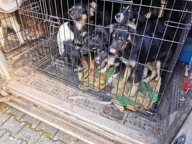 """Psy stłoczone w klatkach to już znany obrazek, jeśli chodzi o zwierzęta """"pod opieką"""" niemieckiej właścicielki. Rok temu blisko 400 psów znajdowało się w """"fabryce zwierząt"""" w Stargardzie Gubińskim. Kilka dni temu przyłapano Maud S. pod Cottbus na próbie transportu 80 czworonogów, które też zostały wepchnięte do małych klatek."""