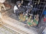 """Niemiecka właścicielka """"fabryki zwierząt"""" w Stargardzie Gubińskim oskarżona. Ponadto złapano ją w lesie pod Cottbus z 80 psami"""