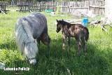 Jednej nocy ukradł... trzy konie w Sulęcinie. Policjanci szybko je odzyskali. Złodziej usłyszał zarzuty