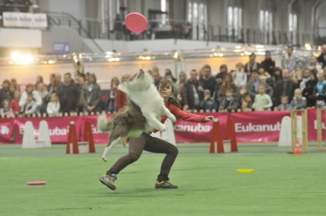 Jak pies potrafi bawić się frisbee można było zobaczyć na niejednej wystawie psów rasowych