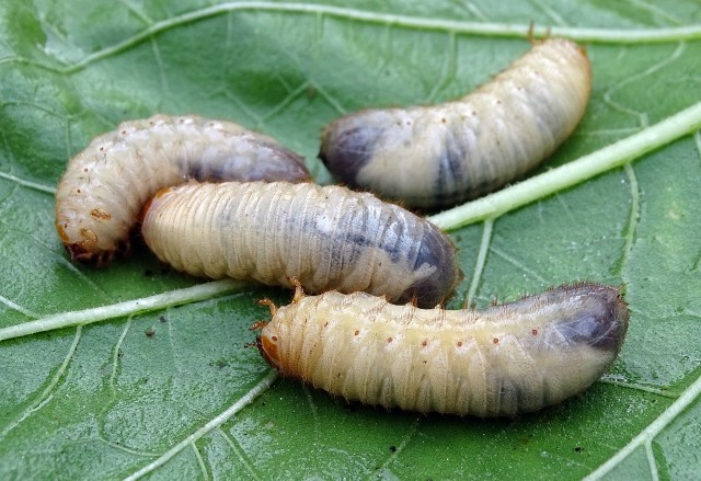 Hodowla larw na paszę