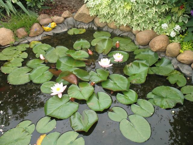 grzybień biały Grzybień biały jest rośliną chronioną, dlatego nie wolno przenosić go z jeziora do oczka wodnego.
