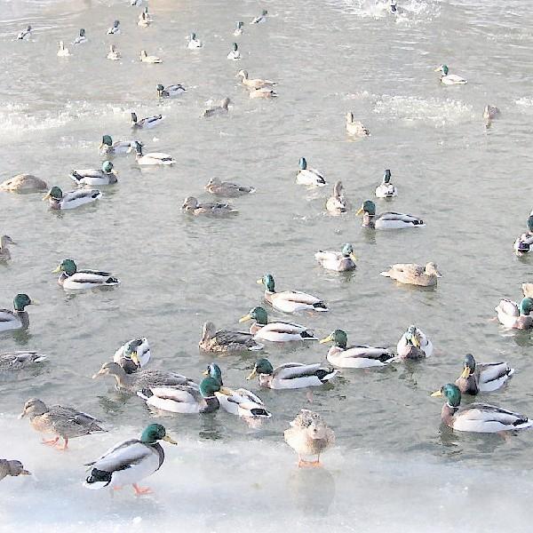 Czy można skontrolować także dzikie kaczki?