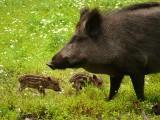 Boją się epidemii świń i każą strzelać do dzików. Nowe limity odstrzału