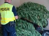 Zlikwidowana plantacja marihuany w Zduńskiej Woli [zdjęcia]