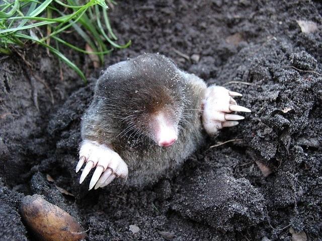Kret w ogrodzieKret, tak szeroko krytykowany, powoduje, że ziemia jest spulchniona i żyzna.