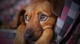 Mieszkaniec Przysieczyna wyrzucił psa przez okno. Zwierzę z połamanymi łapami trafiło do weterynarza