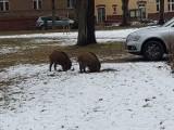 Mieszkańcy Gorzowa Wlkp. nagrali pojedynek dzików na terenie szpitala. Walka była zaciekła do ostatniej chwili!