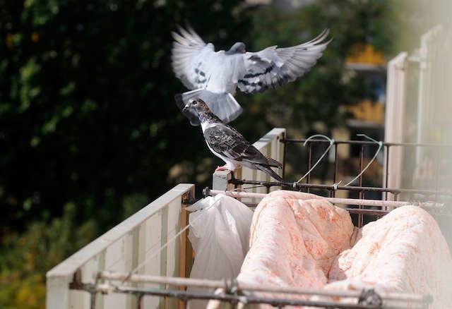 Podobny problem z gołębiami, które doskonale czuły się na osiedlu, mieli swego czasu mieszkańcy Rubinkowa