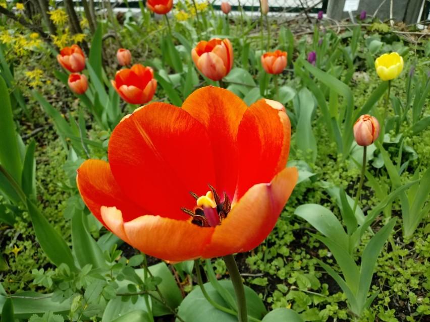 W Ogrodzie Botanicznym UKW w pełni już rozkwitły także...