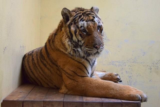 Dziś tygrysy: Merida, Toph, Gogh, Aqua, Softi, Kan i Samson, bo tak nazwali je pracownicy zoo, dochodzą do siebie. Wszystkie są nerwowe i potrzebują odpoczynku, ale każde pokazuje inne cechy charakteru.