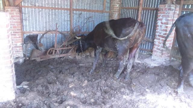 TOZ interweniował w gminie Grybów. Zwierzęta były zaniedbane, poważnie chore i bardzo brudne. Miały rany guzy i otarcia.