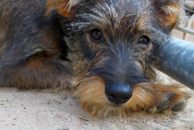 W sobotę 11 września w Klubie u Bazyla odbędzie się charytatywny koncert Podaj Łapę Karma Wraca. Wszystkie zebrane pieniądze przekazane zostaną na wsparcie dla zwierzaków z Przyborówka i Ruśca. Zobacz galerię psiaków, które czekają tam na nowy, kochający dom ---->