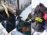 Koń w jeziorze i krowa w szambie. Nietypowe interwencje strażaków z Lubelskiego z udziałem zwierząt