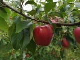 Jabłkowe żniwa w Świętokrzyskiem. Jest wielki strach o sprzedaż, ceny są drastycznie niskie