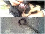 Niecodzienna akcja zielonogórskich strażaków. Ze szczęki psa ściągali metalową obręcz. Uratowali zwierzaka