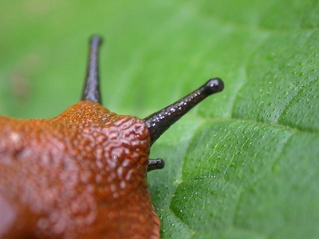 Ślinik luzytański jest znanym szkodnikiem roślin, wyrządza szkody zarówno na ogródkach działkowych, ogródkach przydomowych, sadach jak i na polach uprawnych.