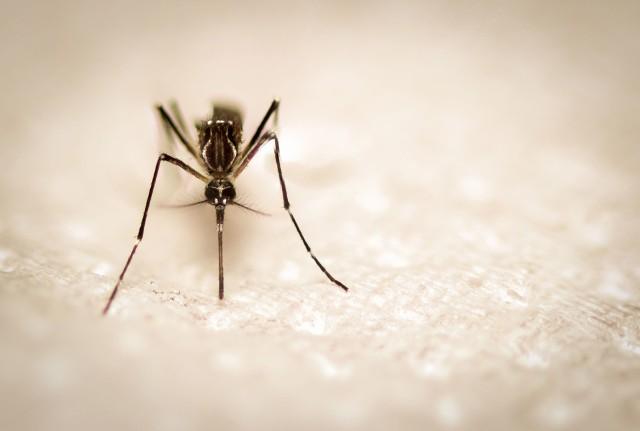Nowy wirus Cristoli może być przenoszony przez komary - należy bowiem do grupy ortobuniawirusów, które są przenoszone zwykle przez owady.