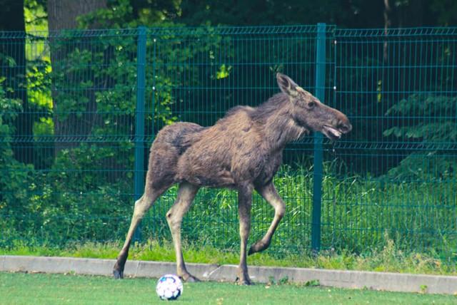 Na treningu młodych piłkarzy w Malborku pojawił się… łoś! Zobacz zdjęcia >>>