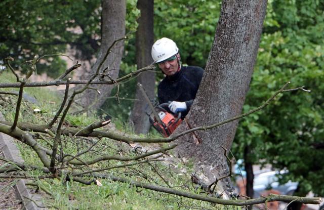 Wycinka drzew na Górze Zamkowej w Grudziądzu. Ponieważ wytypowane do wycinki drzewa rosły na skarpach, do ich wycięcia zatrudniono specjalistyczną firmę alpinistyczną.