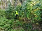 Policjanci zlikwidowali plantację konopi w gminie Sieraków. Zabezpieczono 45 krzaków marihuany i zatrzymano dwie osoby za jej uprawę