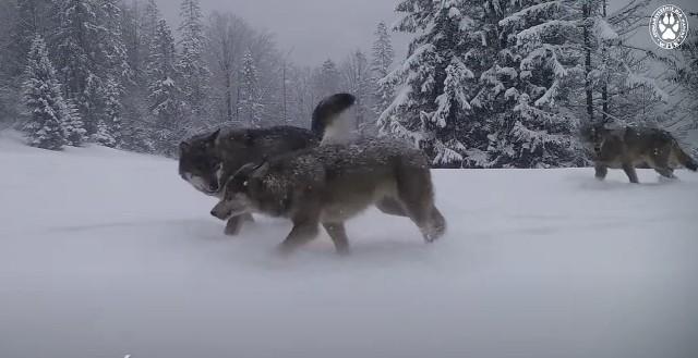 Wilki w Beskidach