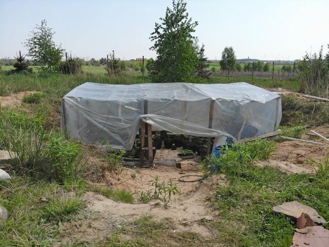 Konopie rosły w doniczkach, ukryte pod folią w wykopie.