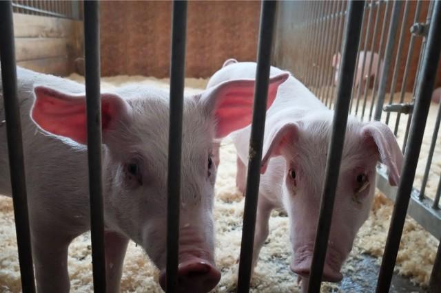 Stad świń w regionie ubywa