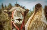Podlaskie rancza i gospodarstwa, które można zwiedzać. Tu spędzisz czas z wielbłądem, strusiem czy alpakami (ZDJĘCIA)