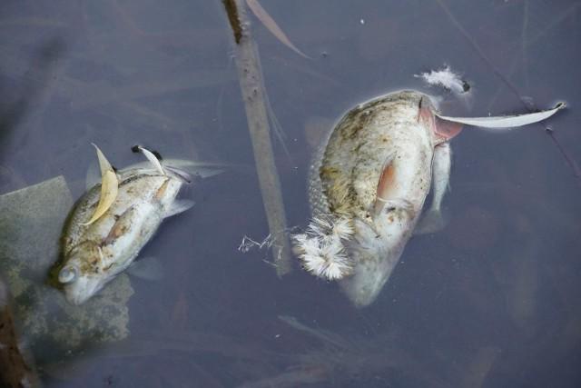 Tak wyglądają śnięte ryby w stawie przy ul. Mickiewicza.