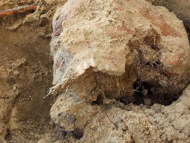 Po wizycie prokuratora i archeologów prace na placu budowy zostały wstrzymane. W wykopie, który nie jest zabezpieczony, nadal jednak poniewierają się ludzkie szczątki. Chociażby widoczna na zdjęciu czaszka. 19.  Ludzka czaszka, jaka do tej pory została tu