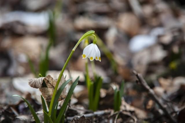 Zakwitły pierwsze śnieżyce, tłum Wielkopolan ruszył więc na spacer do rezerwatu Śnieżycowy Jar. Leśnicy szacują aktualny rozkwit tych niezwykłych kwiatów na 70 procent.Centrum Szkolenia Wojsk Lądowych w ten weekend nie ma na terenie poligonu Biedrusko żadnych zajęć, które mogą ograniczyć dostęp do ścieżki. Na terenie Śnieżycowego Jaru obowiązuje nakaz zakrywania ust i nosa.Zobacz zdjęcia --->