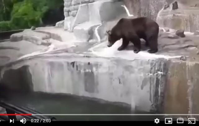 Trzy lata więzienia grożą 23-latkowi, który w czwartek wtargnął na wybieg dla niedźwiedzi w warszawskim zoo, szarpał się ze zwierzęciem i podtapiał je w fosie okalającej wybieg. Młodzieniec był kompletnie pijany...Incydent nagrali świadkowie - FILM na następnym slajdzie