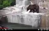 Szarpał się z niedźwiedziem w zoo! Pijany 23-latek wtargnął na wybieg dla niedźwiedzi FILM