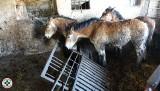 Zwierzęta żyły w skandalicznych warunkach. Konie i krowy w odchodach, brudne i zaniedbane. Jest śledztwo prokuratury