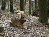W lesie pod Kluczborkiem zastrzelono wilka. Śledztwo umorzono, obrońcy chronionych zwierząt walczą o jego wznowienie