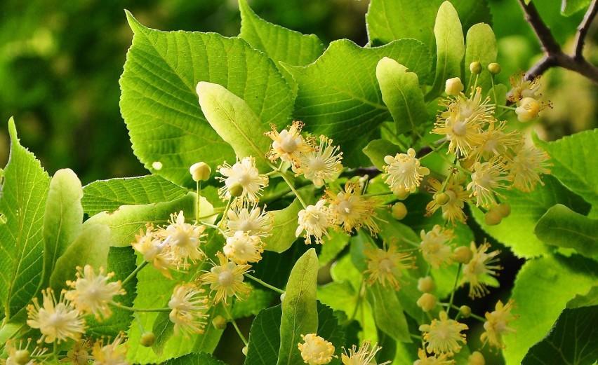 Kwiaty lipy najczęściej znamy jako domowy środek na...