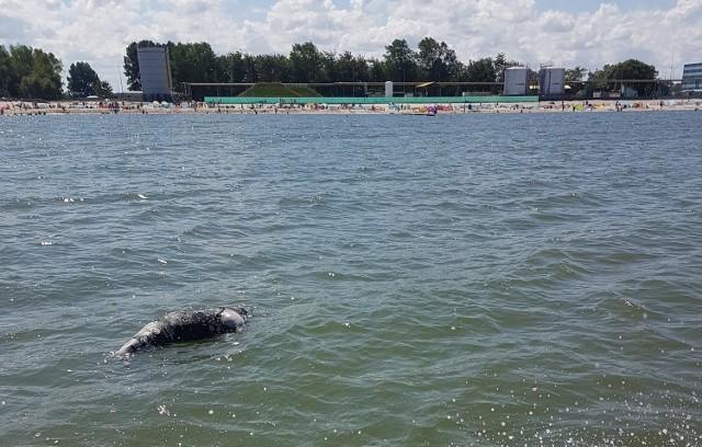 Martwa foka we Władysławowie (lipiec 2018). Ciało dryfuje po Bałtyku i zbliża się do plaży w Chałupach