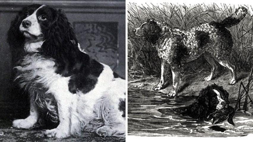 Norfolk Spaniel to rasa, która wymarła na początku XX wieku....
